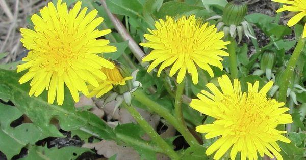 Une plante anti cancer qui pousse tout pr s de chez vous for Plante qui pousse