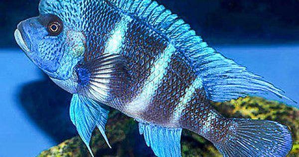1 Frontosa Mpimbwe Blue 1 0 Inch Tanganyikan African Cichlid Guaranteed African Cichlid Aquarium Tropical Freshwater Fish African Cichlids