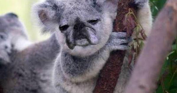 Pug Koala Bear With Images Koala Baby Koala Cute Animals