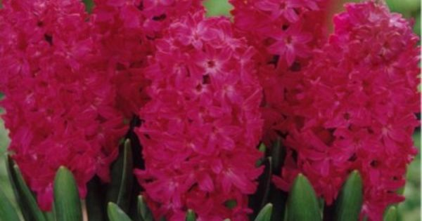 Hyacinths The Most Beautiful Smell I Grow Them In My House Bulb Flowers Flowers Flower Bulbs For Sale