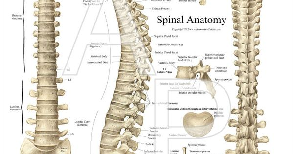 Thoracic Spine Anatomy Poster Medicals Pinterest - radiographic ...
