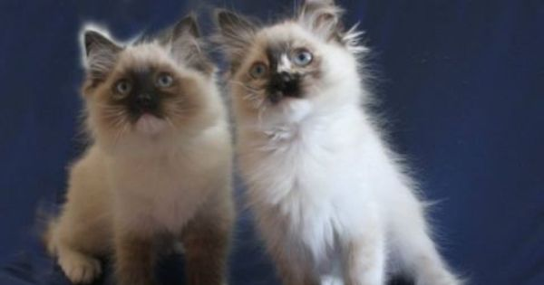 Welcome To Jazzmania Ragdolls Ragdoll Cat Animals Cats
