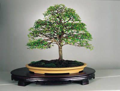 Resultado de imagen de bonsái de Guayacán