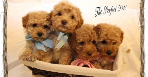 Ckc Toy Poodle Puppies Toy Poodle Puppies Puppies Poodle Puppy