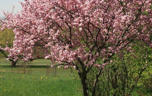 Prunus Blireiana Flowering Plum High Desert Plants