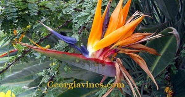 Gallon Plant Of This And Rare Dwarf Strelitzia Reginae Or Dwarf Orange Bird Of Paradise Plant That Is Hardy In Zo Birds Of Paradise Plant Paradise Plant Plants