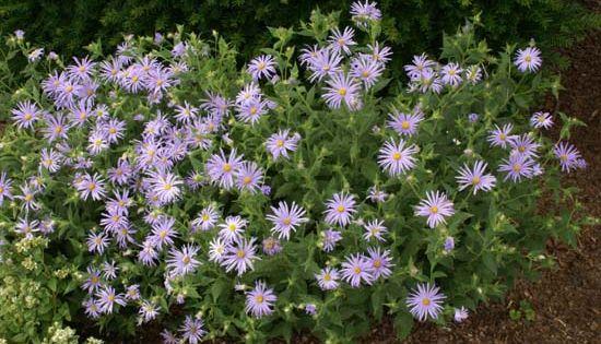 Aster thomsonii 39 nanus 39 40cm tall long flowering and for Low growing flowering shrubs