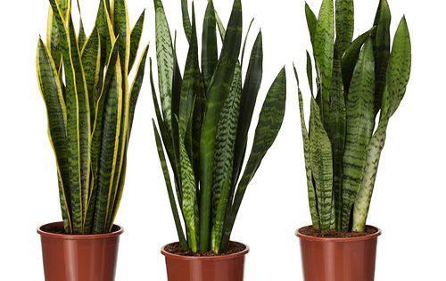 Sansevieria trifasciata planta ikea shopping cart - Plante d interieur ikea ...