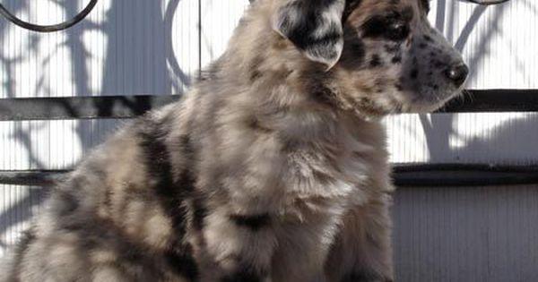Australian Shepherd Great Dane Mix One Of My Many Dream Dogs I