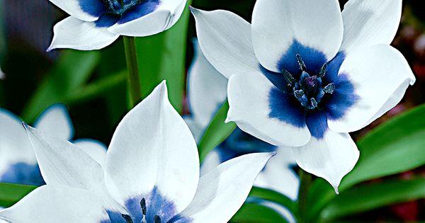 Humilis Alba Coerulea Oculata (botanical tulip) The colour combination of the bright