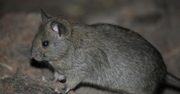 Greater Stick Nest Rat Leporillus Conditor Seltene Tiere Tiere