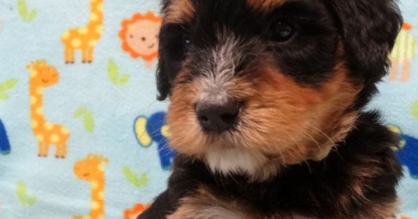 Bernedoodle Puppy From Www Mollysdarlingdoodles Com Bernedoodle Puppy Bernedoodle Puppies