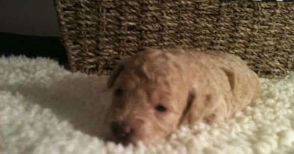 Small Miniature Poodle Puppies Poodle Dogs Puppies Cute Animals