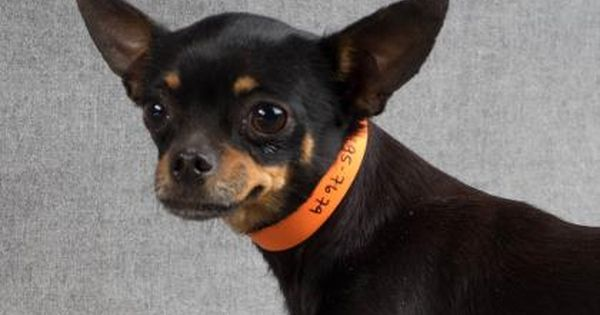 Meet Minnie A 3 Years 5 Months Chihuahua Short Coat Available For Adoption In Colorado Springs Co Dog Adoption Chihuahua Pet Adoption