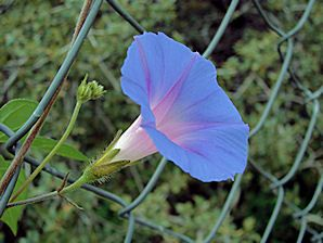 Morning Glories Flower Google Search