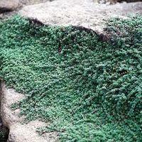 Ground Cover You Can Walk On Thymus Cr Praecox Pseudolanguinosus