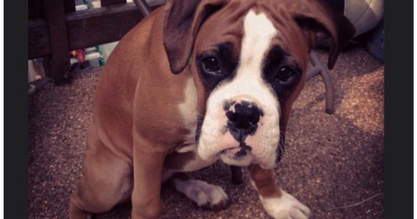 You had pizza when I was napping? | Popular Boxer Dog ...
