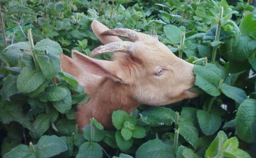 10 Things NOBODY Tells You About Goats UNTIL IT'S TOO LATE!!! goats
