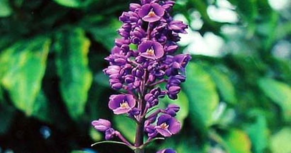 Hawaiian Blue Ginger Plant Dichorisandra Thyrsiflora Grow