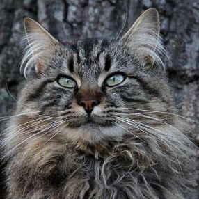 Pin On 1maine Coons And Norwegian Forest Cats