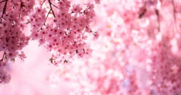 Weeping Cherry Tree Pruning Doityourself Com Weeping Cherry Tree Flowering Cherry Tree Cherry Tree