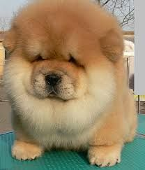 Chow Chow Puppies Google Search Chow Chow Dogs Fluffy Animals