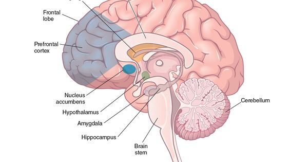 Illustration Of The Structures That Compose The Limbic