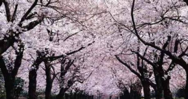 The Japanese Tradition Of Hanami A Yearly Festival Which Involves The Blossoming Of The Cherry Tree Sakura Also The Nation With Images Japanese Cherry Tree Blossom Trees