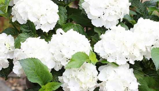 hydrangea macrophylla 'endless summer ®' weiß / garten-hortensie,