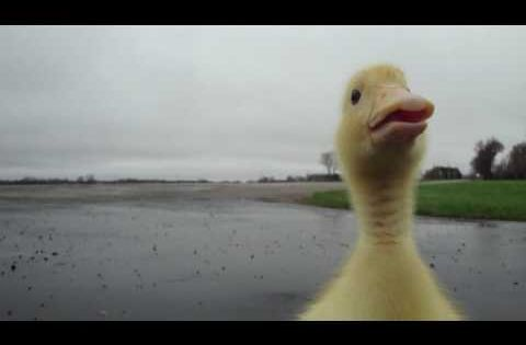 Duckling Goes for Early Morning Jog: We don't know if animal videos