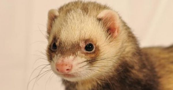 Canadian Police Issue Ticket For Wearing Ferret While Driving Http Cringeynews Com Uncategorized 3931487710072 Ferret Cute Ferrets Angora Ferret