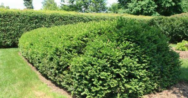 Low Growing Evergreen Shrubs Gardening Landscaping