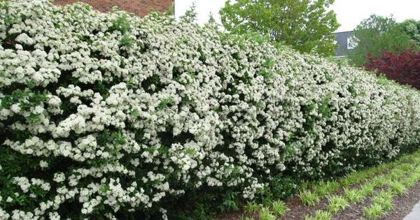 haie fleurie et persistante quels arbustes pour haies choisir terrasses sud pinterest. Black Bedroom Furniture Sets. Home Design Ideas
