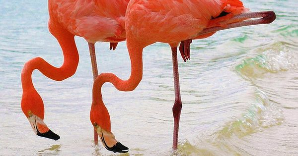 Caribbean Twins from aruba! These elegant pink flamingos were strolling around the
