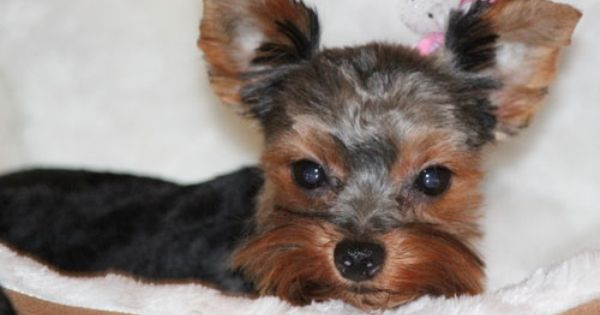 Chicago Yorkie Puppy Rescue Chicago Yorkie Puppy Yorkie Adoption Adopt A Yorkie Chicago Yorkie Puppy Puppie Yorkie Puppy Yorkie Italian Greyhound Rescue