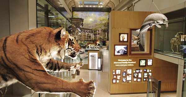Natural History Museum Mammals Hall Tiger Smithsonian Smithsonian National Museum Smithsonian Museum