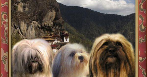 Tushita Lhasa Apsos Australia Lhasa Apso Cute Dogs Animals