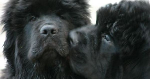 Puppy Kisses Puppylove Newfoundland Adorable Beautiful Dogs
