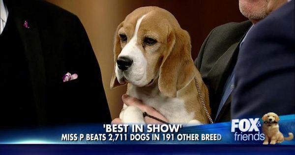 Brian Kilmeade Meets Miss P Beagle Named Westminster S