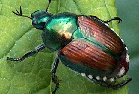 Posts About Japanese Beetle On Harbourview S Tips And Tricks Japanese Beetles Japanese Beetle Control Popillia Japonica