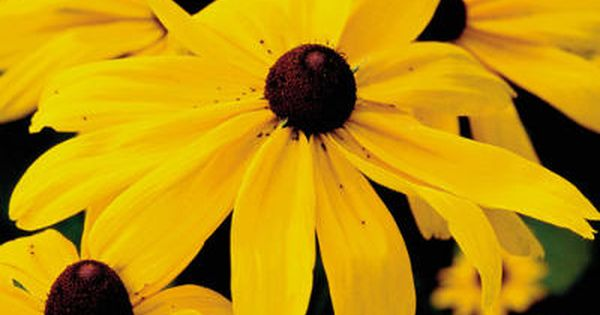 Drought tolerant plants- black eyed Susan's.