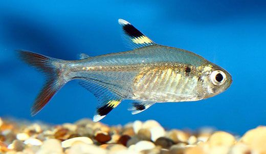 The X Ray Tetra Is A Small Species Of Schooling Fish That Is Naturally Found In The Amazon River S Coastal Wate Tropical Fish Pictures Tetra Fish Tropical Fish