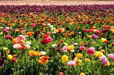 Buttercups For The Garden Growing Info And Care Of Ranunculus Buttercup Plants Ranunculus Garden Ranunculus Flowers Flowers Perennials