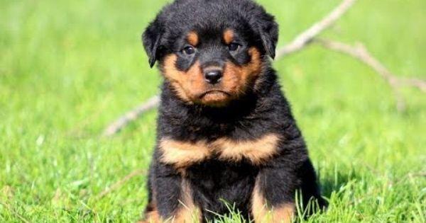 My Dad S Future Dog Pretty Cute Baby Rottweiler Rottweiler Puppies