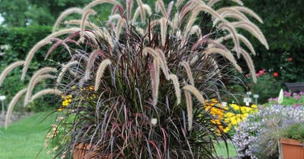 Ornamental grass in containers large ornamental grass for Large ornamental grass plants