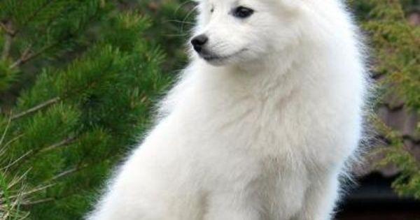 Miniature Spitz It Shall Be Mine Spitz Dogs Japanese Spitz Beautiful Dogs