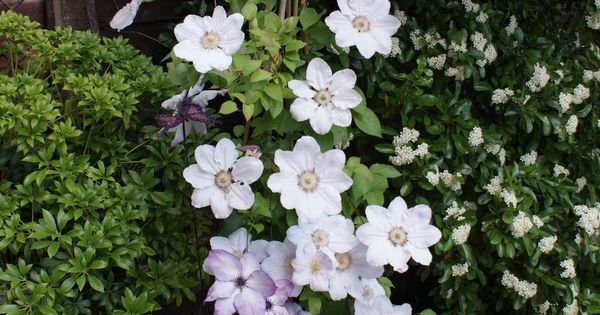 raymond evison 39 s cezanne growing with thorncroft clematis. Black Bedroom Furniture Sets. Home Design Ideas