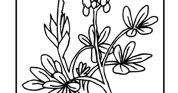 texas bluebonnet flower drawings sketch coloring page