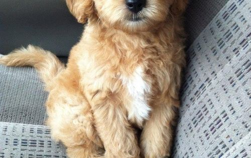 I'm under his spell. Cutest puppy ever. Teddy bear puppy.