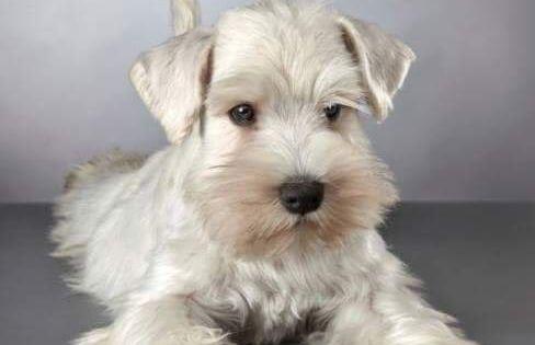 Twitter Miniature Schnauzer Puppies Schnauzer Puppy White Miniature Schnauzer